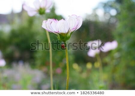 Uğur böceği tırmanma çiçek kök sarı çiçek yeşil Stok fotoğraf © Anterovium
