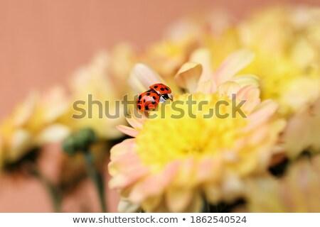 カブトムシ · 黄色の花 · 赤 · ベルベット · 黄色 - ストックフォト © mady70