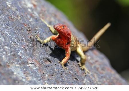 hagedis · groene · graniet · steen · voorjaar · seizoen - stockfoto © wildnerdpix