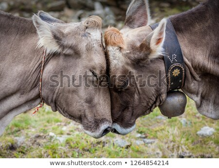 cows in love stock photo © adrenalina