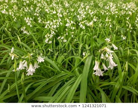 Drie prei bloem voorjaar groene Stockfoto © paulfleet
