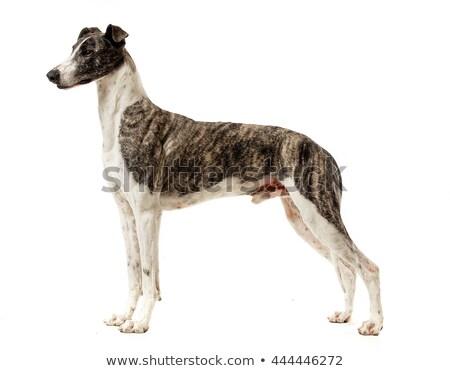 смешные · ушки · белый · собака · Постоянный · красоту - Сток-фото © vauvau