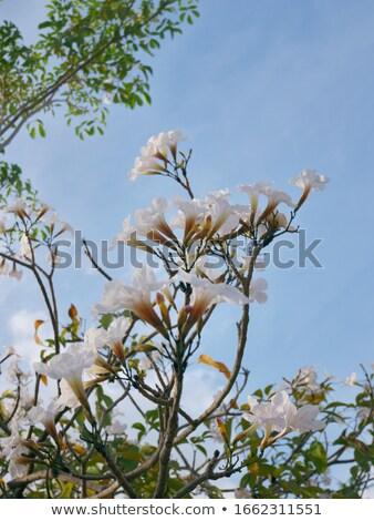 сакура Малайзия мнение цветок Сток-фото © azamshah72