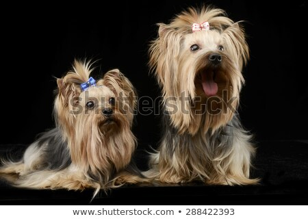 beautiful yorkshire terrier sitting in a shiny black studio floo Stock photo © vauvau