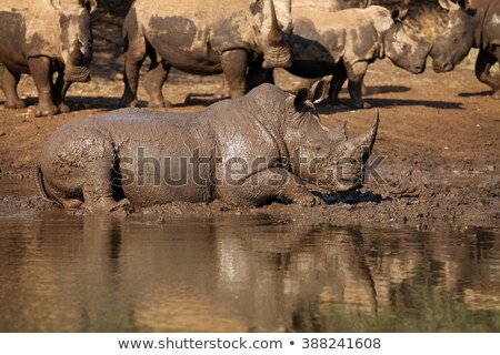 white rhino relaxing in the water stock photo © simoneeman