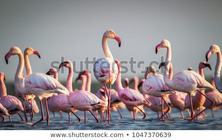 pink flamingos family Stock photo © adrenalina