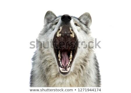 arktik · kurt · kuzey · köpek · kar · buz - stok fotoğraf © pictureguy