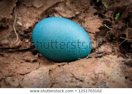 egg emu Stock photo © bazilfoto