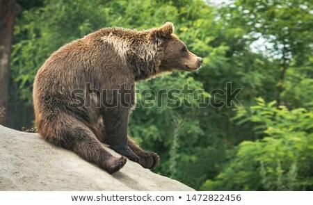 Grizzly medve ül kő illusztráció erdő természet Stock fotó © bluering
