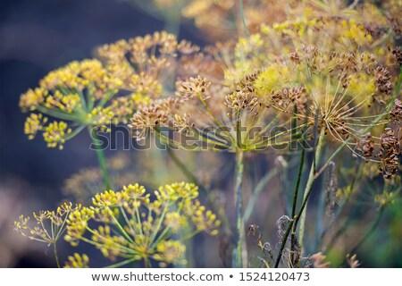 зеленый фенхель семян цветок продовольствие группа Сток-фото © bdspn