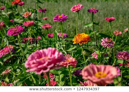 Different flowers of zinnia in the summer park. Natural blooming layout Stock photo © artjazz
