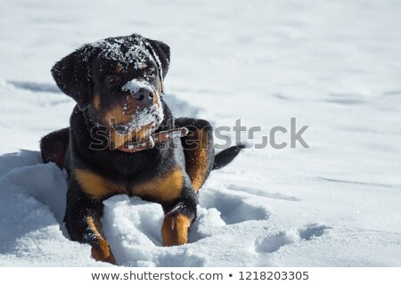rottweiler in snow Stock photo © cynoclub