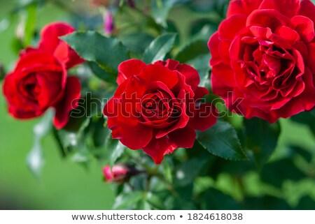 Krzew róż rozwój liści ogród Zdjęcia stock © Alex9500