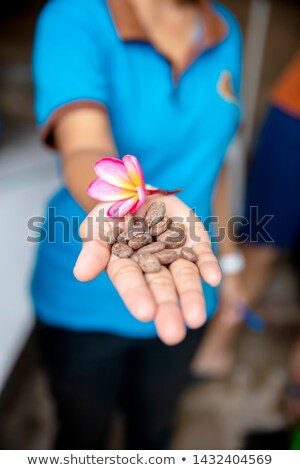 Hand holding cocoa beans and frangipani flower Stock photo © boggy