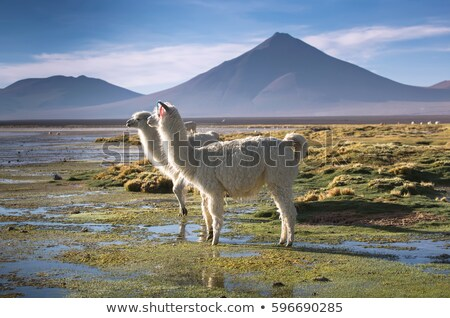Fauna rezerv Bolivya uzak görmek doğa Stok fotoğraf © boggy