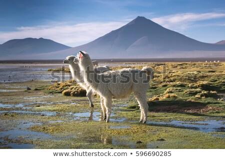 Lamas at Eduardo Avaroa Andean Fauna National Reserve in Bolivia Stock photo © boggy