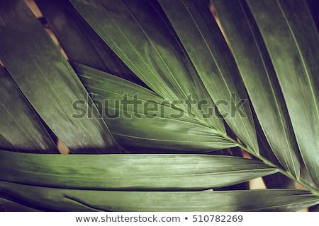 Palm textuur boom Stockfoto © premiere