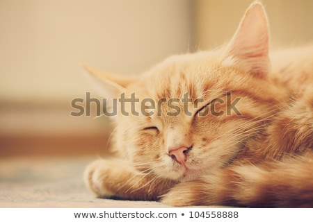 Peaceful Red Tabby Male Kitten. Stock photo © ryhor