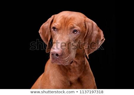 портрет черный животного слушать ПЭТ Сток-фото © vauvau