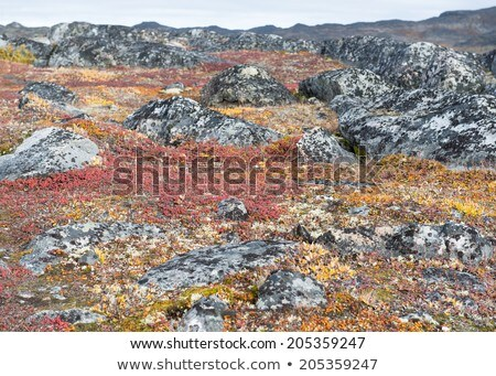 Lichen and tundra vegetation Stock photo © Arrxxx