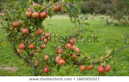 Măr bunicuta gala Imagine de stoc © marilyna