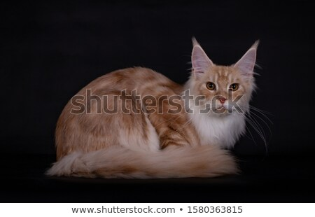 creme maine coon cat kitten isolated on black background stock photo © catchyimages