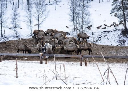 marals on farm in Altay Stock photo © olira