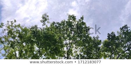 Yeşil yaprakları gökyüzü bahar yaz doğa yaprak Stok fotoğraf © ryhor