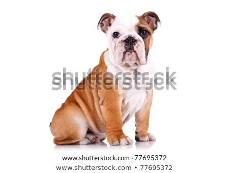 Vista laterale singolare bianco english bulldog seduta Foto d'archivio © feedough