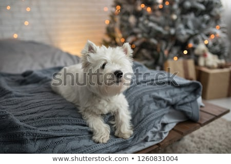 Beagle puppy and woman christmas on white background Stock photo © Lopolo