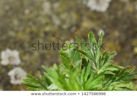 Verde escudo bicho Foto stock © sarahdoow