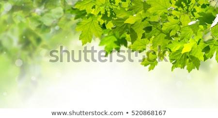 Verde bordo folhas ramo madeira luz Foto stock © Arrxxx
