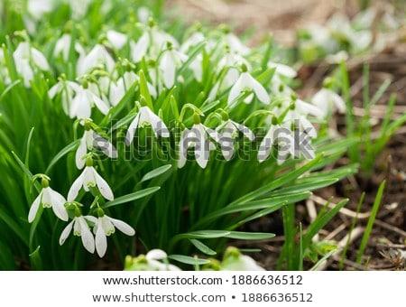Spring snowdrop flower on white Stock photo © haraldmuc
