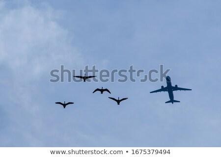 Flight gooses Stock photo © ivonnewierink