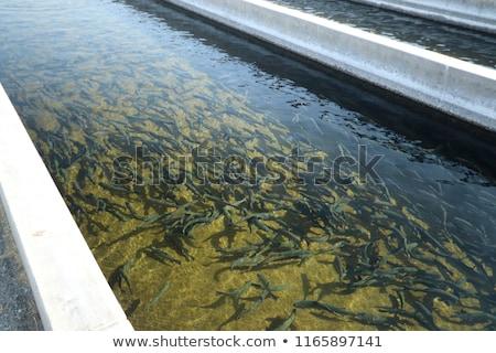 Trucha granja muchos peces arco iris Foto stock © rghenry