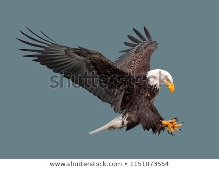 Kaal adelaar geïsoleerd amerikaanse natuur veer Stockfoto © shutswis