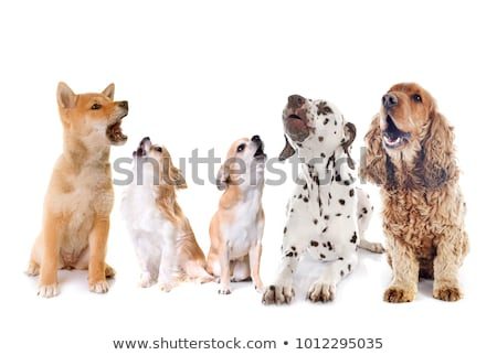 group of dogs howling stock photo © cynoclub