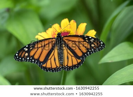Beautiful Monarch Butterfly Resting On Plant Stock photo © feverpitch