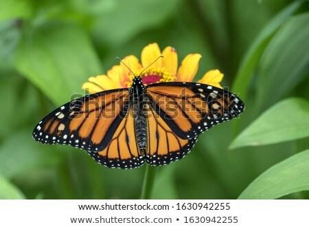 vlinder · bloem · kleurrijk · vergadering · kamille · bloemen - stockfoto © feverpitch