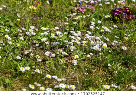 prímula · isolado · branco · flor · flores · folha - foto stock © zhekos