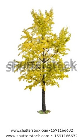 an isolated ginkgo tree on a white background stock photo © zerbor