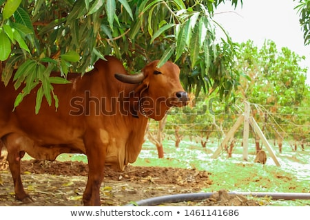 Stock photo: A Tan Cow Grazing