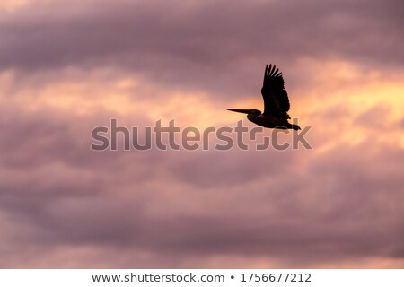Pelican flying on sky Stock photo © bluering