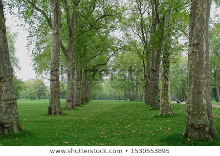 London Plane Tree Leaf stock photo © suerob