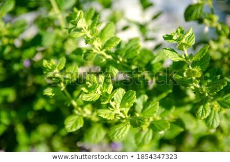 szárított · növénygyűjtemény · borsmenta · tea · közelkép · makró · szabadtér - stock fotó © juniart