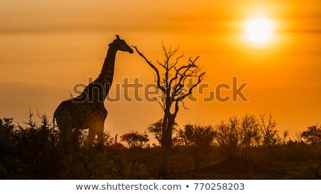 日没 公園 南アフリカ 鳥 木 自然 ストックフォト © compuinfoto
