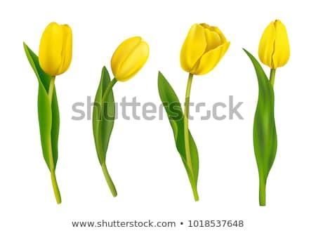 Citromsárga tulipánok mező csoport zöld természet Stock fotó © boroda