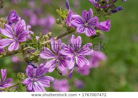 common mallow stock photo © ivonnewierink