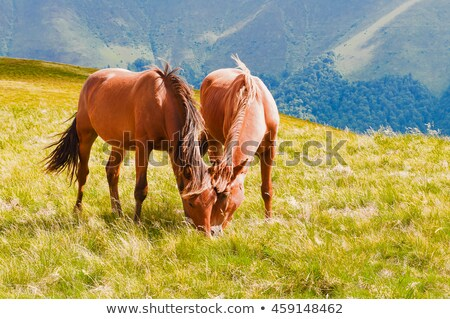 Brown horse grazing in a mountain meadow in Carpathians Stock photo © Kotenko