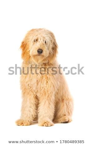 cute mixed breed dog sitting in white studio stock photo © vauvau